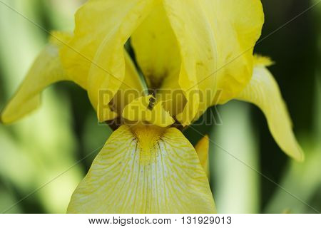 yellow spring flowers in a garden with water drops. iris flower