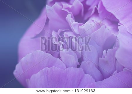Closeup of peony flowers. fragment of pink peony. peony flower