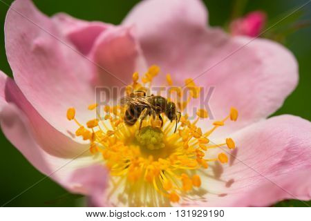 Bee on a flower of the pink flowers blossoms.Macro of honey bee (Apis) feeding on pink flower
