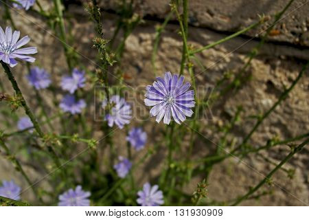 Beautiful lilac flowers of chicory on the background of the gray wall.