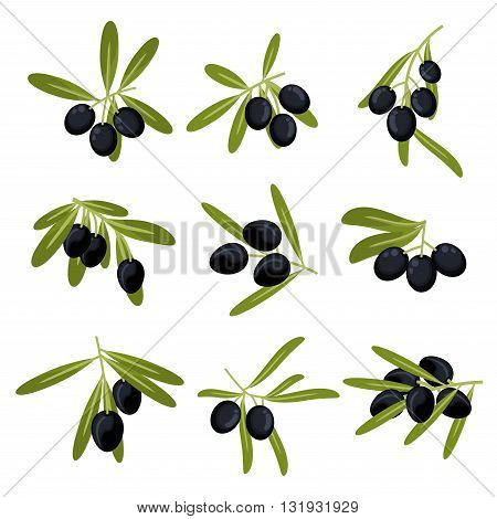 Organically grown olive fruits icons for olive oil packaging or peace symbol design with fresh green leafy branches with ripe large black olives