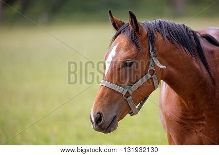 Brown horse in a clearing, a portrait