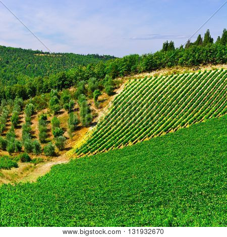 Hills of Tuscany with Vineyards and Olive Trees in the Chianti Region of Italy