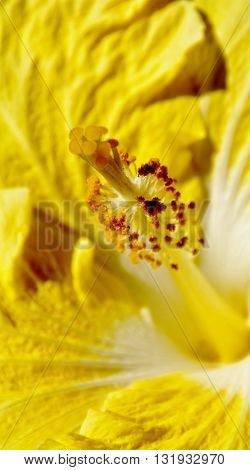 Close up of a beautiful yellow Hibiscus blossom