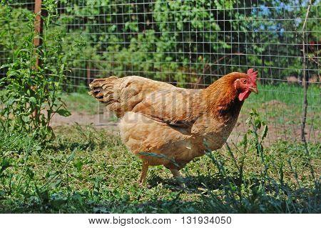 Chicken in garden, backyard scene of growing farm birds