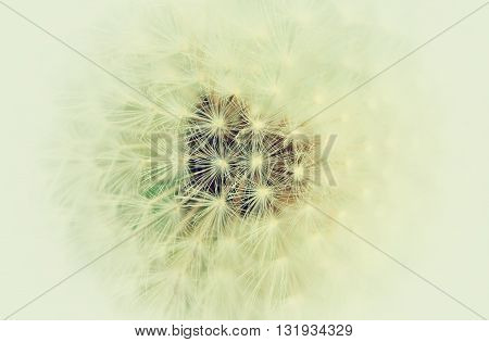 White color withered dandelion, detail of flower