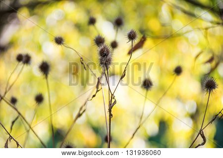 natural dry thorn in the autumn background