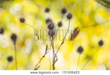 herbal, dry thorn in the autumn background