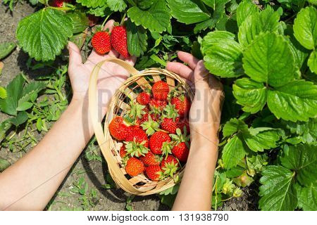 woman hands with strawberry in garden