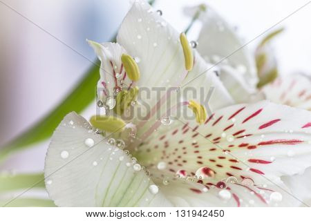 Alstroemeria flowers and water drops macro .