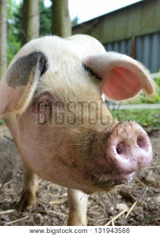 Close up of a friendly Gloucester Old Spot Pig