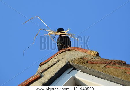 a starling collecting nesting material on a roof