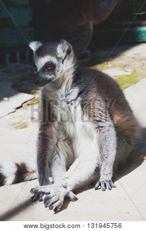 Funny Lemur Catta