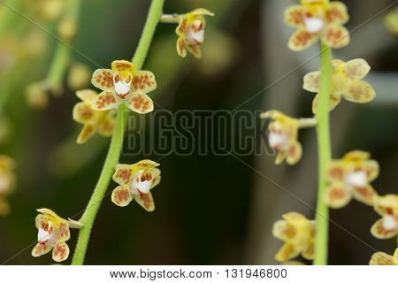 Beautiful Wild Flower Orchid,chiloschista