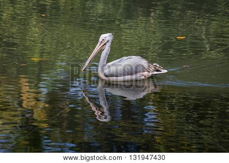 Adult pelican reflected in the water as he swims in a pond