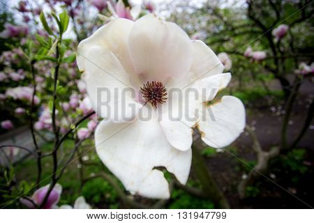 Magnolia tree blossom, magnolia bud.blue sky through the cherry flowers, blossoming fruit trees and flying bees around the flowers the sun through the cherry flowersa. pink magnolia tree