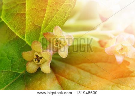 black currant flowers background - macro photography - spring