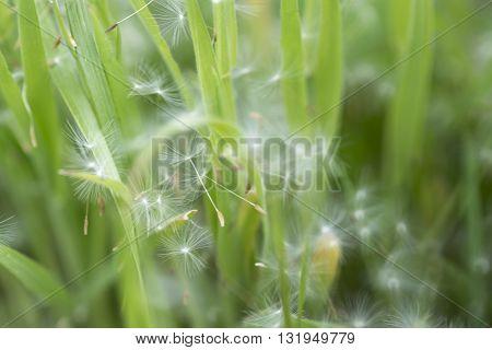 Dandelion Fluff In Wind