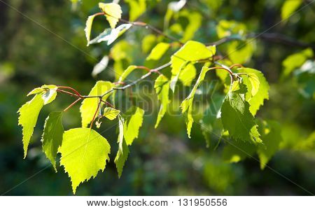 green, nature, light, leaf, wood, branch, birch, sunny day, young leaf