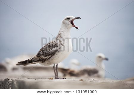 sea gull opened its mouth and shouts