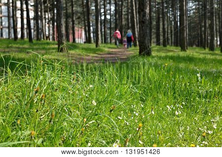Blurred walkers on mountain lane in coniferous forest