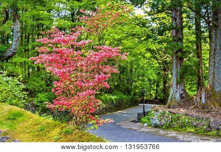 Blooming bush at Nikko heritage site - Japan