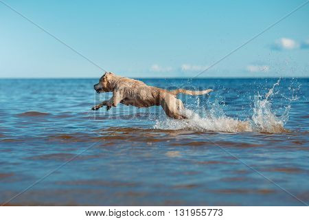 Dog breed American Staffordshire Terrier playing in the lake