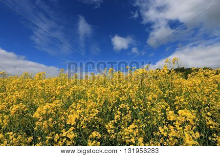 FIELD OF THE COLZA IN THE SOMME , FRANCE