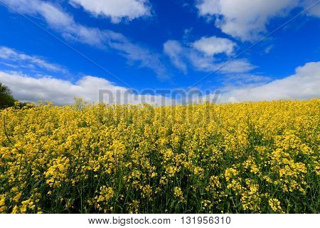 FIELD OF COLZA IN THE SOMME, FRANCE