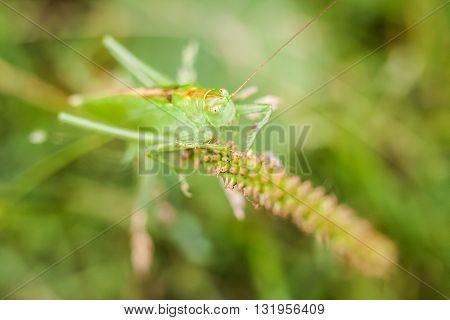 Macro photography of little grasshopper. Nature detail