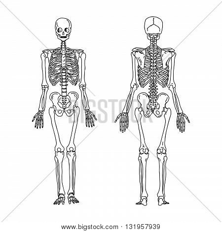 illustration vector hand draw doodles of human skeleton from the posterior and anterior view anatomy of human bony system