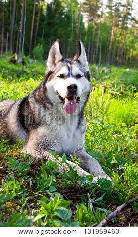 the dog, breed, a malamute, gray, black, a color, the wood, green a grass, a tree a background, a coniferous background, lies,
