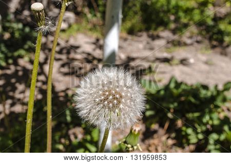 Fluffy white ball of  the mature dandelion seeds