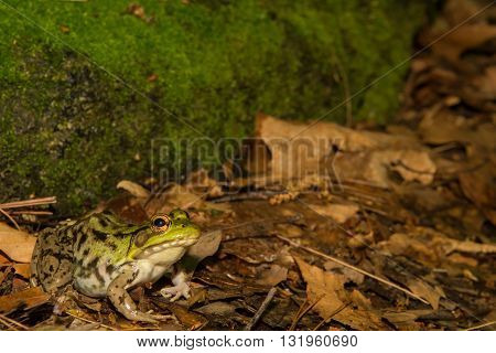 A close up of a Green Frog in the wild.