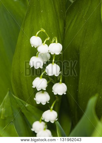 Blooming Lily-of-the-valley Convallaria majalis flowers and leaves macro selective focus shallow DOF