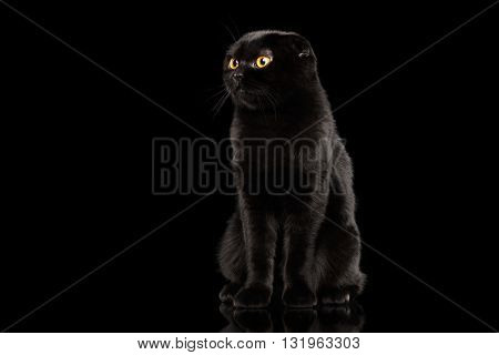Black Scottish Fold Cat with Yellow eyes Sitting and Looks Curiously Isolated on Black Background Front view