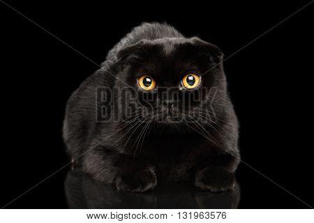 Closeup Black Scottish Fold Cat with Yellow eyes Lying on Mirror Isolated on Black Background