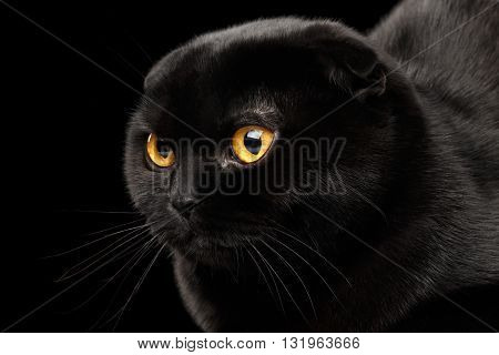 Closeup Head of Black Scottish Fold Cat with Yellow eyes Isolated on Black Background