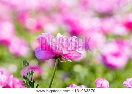 A pink buttercup flower framed against a vibrant background during a prime springtime day.
