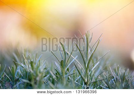 Fresh and young rosemary branch against golden sunlight. Herbal background with copy space essential oils and Mediterranean cuisine concept.