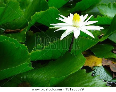 White waterlily with green leaves in a pond. Water lily. Lotus flower. Lily flower. Waterlily.