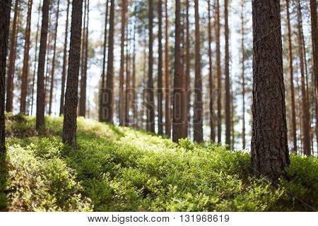 Sunlight peeking through pine trees onto forest ground
