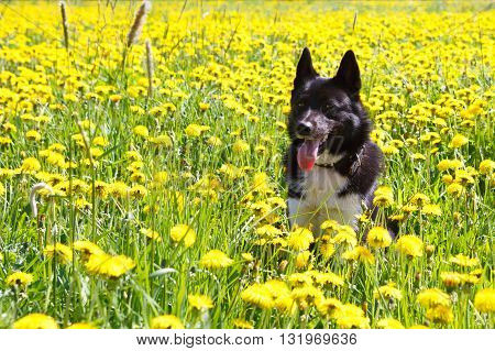 Dog sitting in dandelion field. Walk dogs Huskies nature in colors. A hunting dog Russian - European Laika.