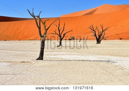 Dead Camelthorn Trees against an orange dunes and blue sky in Deadvlei Sossusvlei. Namib-Naukluft National Park Namibia Africa