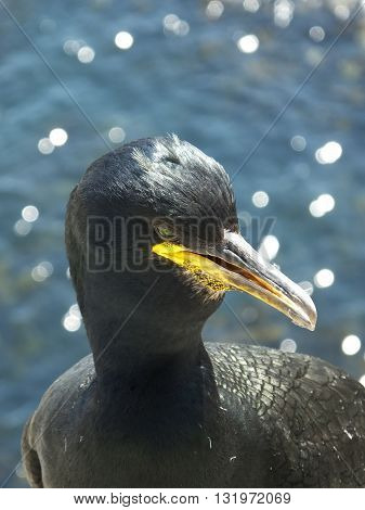 Close up of Shag with sea in the background