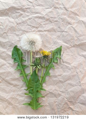 Dandelion flowers and blowball on the brown crumpled paper