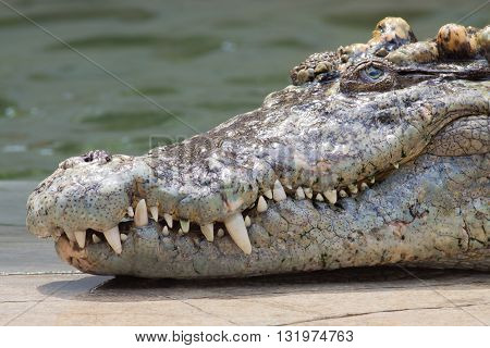 The crocodile head with the sharp fang