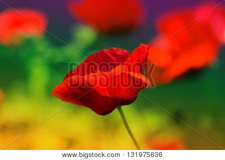 Red poppy on green weeds field. Poppy flowers.