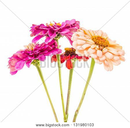 Isolated Zinnia beautiful Flower on white background