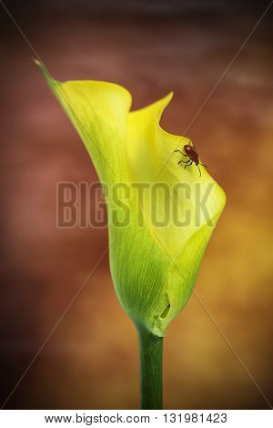 Beautiful Macro Close Up Image Of Colorful Vibrant Calla Lily Flower